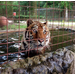 Zeus the tiger heads straight for the pool upon arrival to Big Cat Rescue