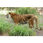 Big Cat Rescue's NY Tiger Rescue