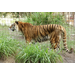 Kimba the tiger was starving to death at the time of her arrival to Big Cat Rescue.  She was so ill she did not survive.
