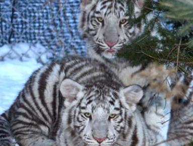 Size_550x415_jeremy-simon-wildcat-sanctuary