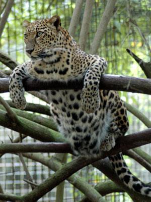 Size 550x415 leopardsundaritree1