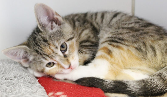 Size_550x415_calico_tiger_kitten_curled_up