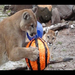 Watch the big cats at TWS enjoying their pinata enrichment.