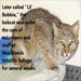 Lil Bobbie- From Broken to Free ! Bobcat Story