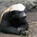 Team Honey Badger - Walk on the Wildside