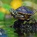 The Speedy Turtles