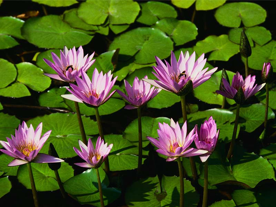 Size 550x415 water%20lilies