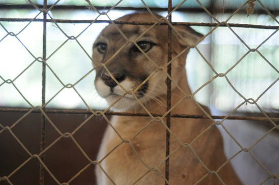 Size 550x415 cougar%20from%20poetry%20texas%20 %20rescued%20in%20july%202011%20 %201
