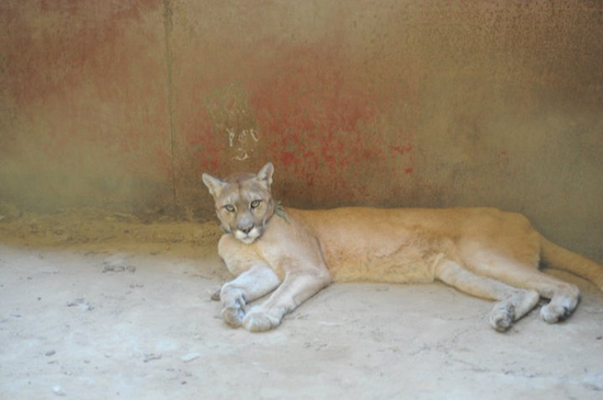 Size 550x415 cougar%20from%20poetry%20texas%20 %20rescued%20in%20july%202011