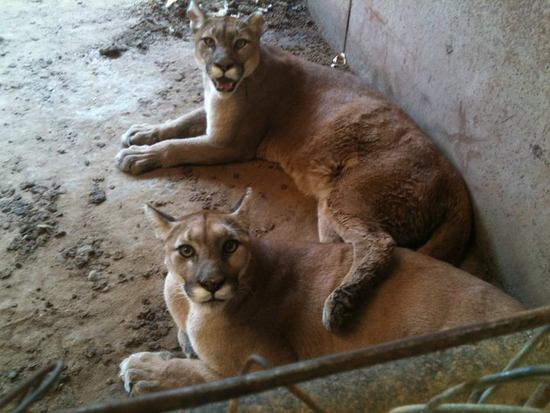 Size 550x415 cougars%20from%20poetry%20texas%20 %20rescued%20in%20july%202011