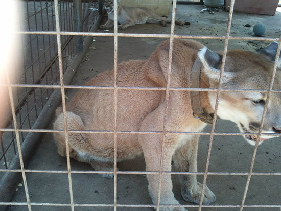 Size 550x415 cougars%20from%20poetry%20texast%20 %20rescued%20in%20july%202011