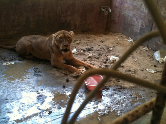 Size 550x415 lion%20from%20poetry%20texas%20 %20rescued%20in%20july%202011