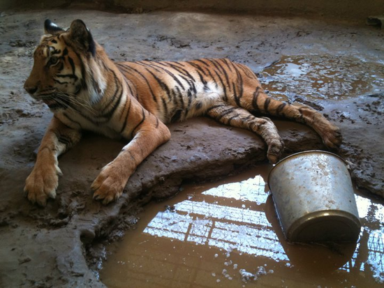 Size 550x415 tiger%20from%20poetry%20texas%20 %20rescued%20in%20july%202011