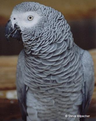 Size 550x415 african grey l