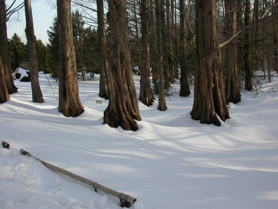 Size 550x415 snow%2003%20gotelli%20metasequoia%20trunks