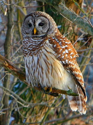 Size 550x415 barred owl 8120