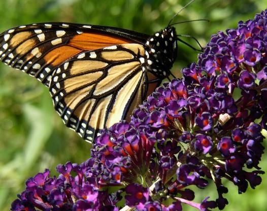 Size 550x415 monarch%20butterfly%201