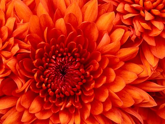 Size 550x415 chrysanthemum