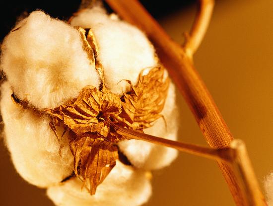 Size 550x415 cottonplant