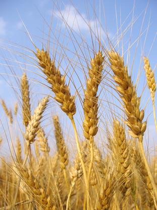 Size 550x415 wheat