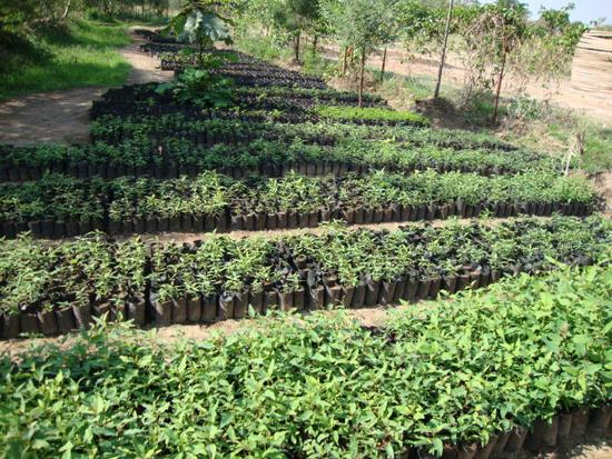 Size 550x415 tree nursery