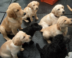 Size 550x415 obedient%20goldens%20and%20lab%20puppies