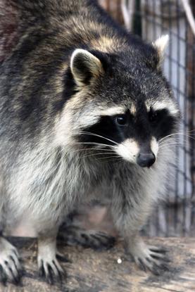 Size 550x415 raccoon