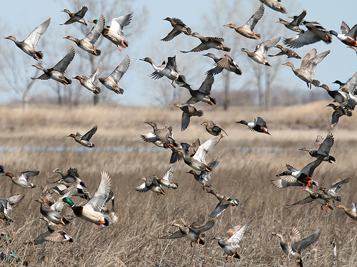 Size 550x415 ducksunlimited randomimages