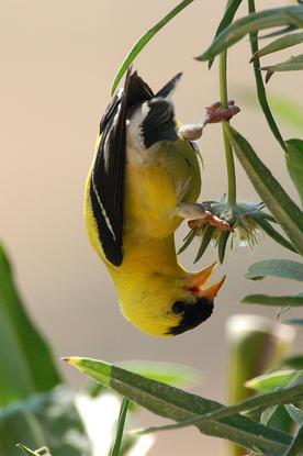 Size 550x415 goldfinch joshua baklund