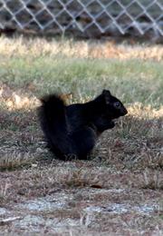 Size 550x415 black%20squirrel