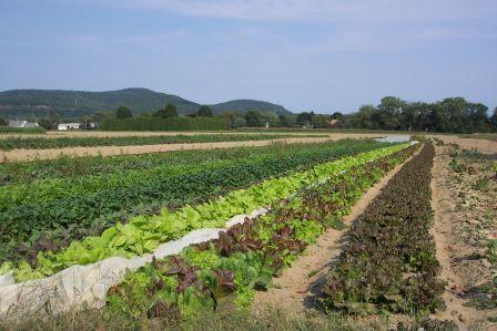 Size 550x415 lettuce%20field
