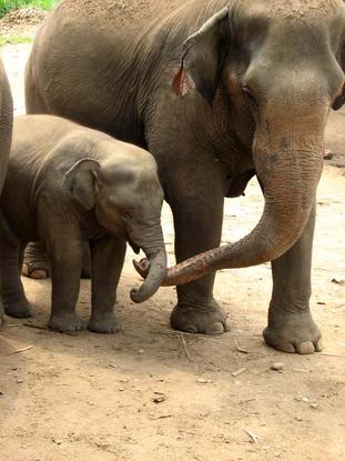 Size 550x415 thai elephants