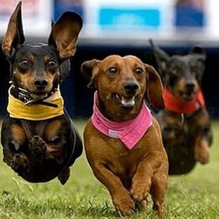 Size 550x415 size 550x415 dachshund%20race