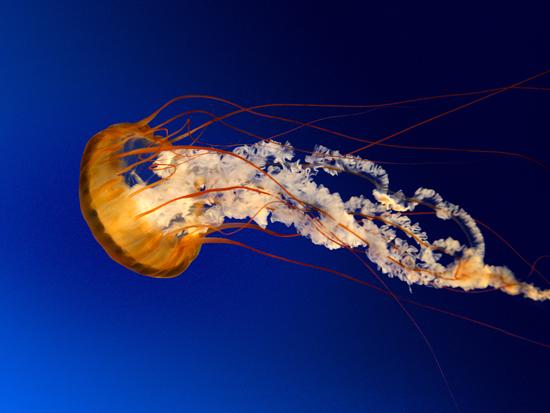 Size 550x415 jellyfish