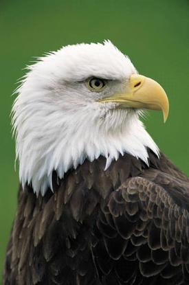 Size 550x415 eagle