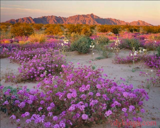 Size 550x415 flowers in arizona desert photo by jack dykinga