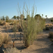 The majestic Ocotillo is just one of hundreds of Sonoran Desert plants that visitors can study and enjoy at the Garden.