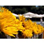 Size 150x150 wedding%20sunflowers