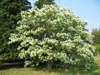 Size 550x415 fringetree
