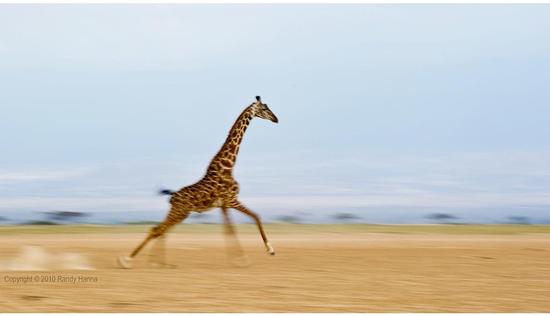 Size 550x415 giraffe
