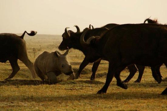 Size 550x415 rhino%20run