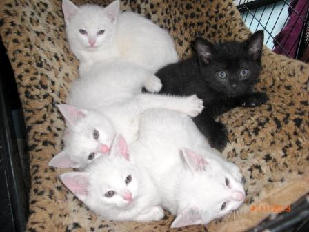 Size 550x415 cheese%20litter%20of%20kittens%20041113%20%282%29