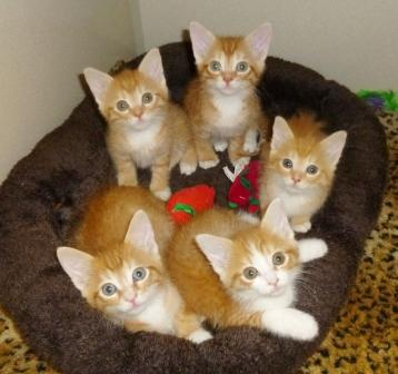 Size 550x415 orange%20tabby%20and%20white%20litter%20011813%20%286%29