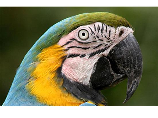 Size 550x415 macaw%202