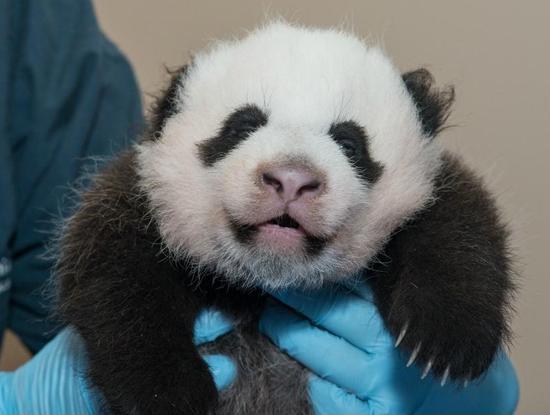 Size 550x415 panda exclusive 4 963