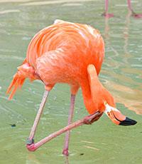 Size 550x415 hvz flamingo