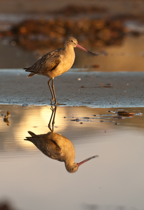Size 550x415 mikebaird%20flickr%2015.marbled%20godwit