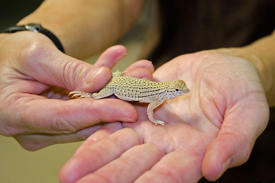 Size 550x415 yuman fringe toed lizard   01