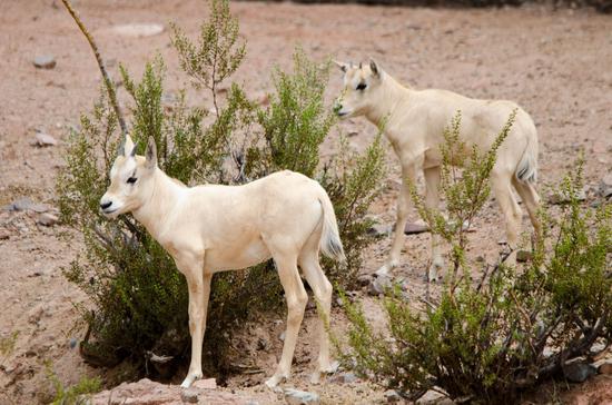 Size 550x415 oryx calves
