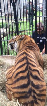 Size 550x415 jnk tiger keisha
